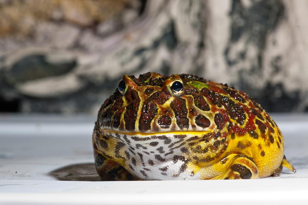 Ornate-Horned-Frog.jpg