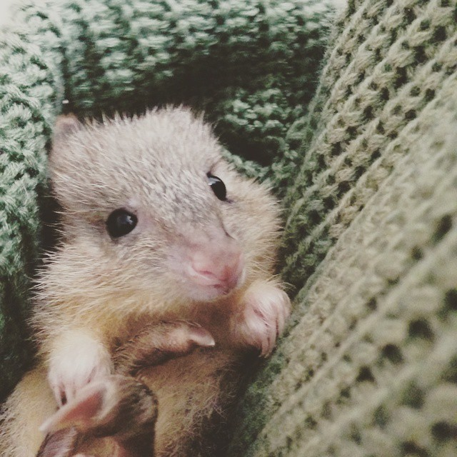 Billy the Bettong!
